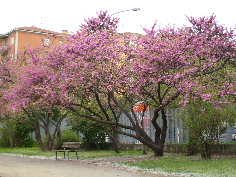 Esemplare di cercis siliquastrum - giardini lunetta gamberini -bologna