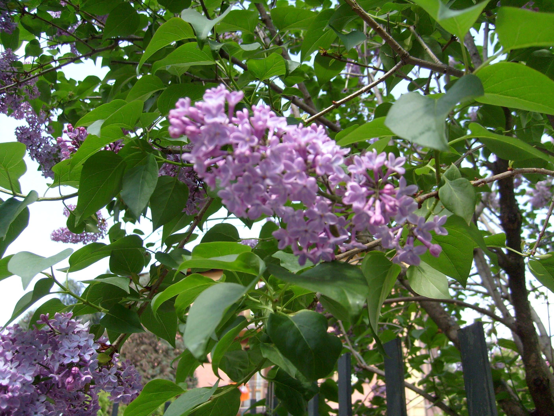 Albero Di Lillà fioriture in citta'