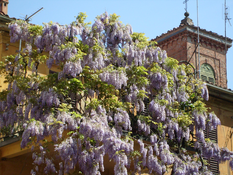 Fioriture in citt aprile periodo viola for Pianta rampicante con fiori viola a grappolo